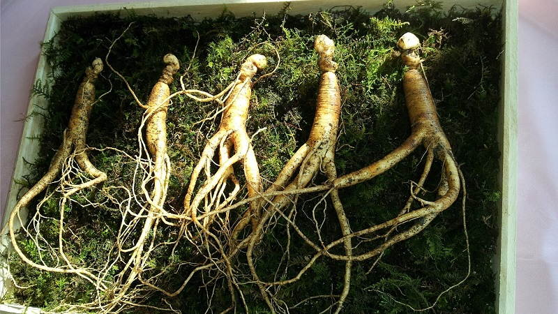 benefits of ginseng tea