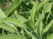 herbal tea benefits and side effects